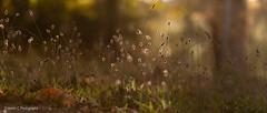 2019 Mt Lofty April Finals LR WM-4 (Helen C Photography) Tags: adelaide hills south australia mount lofty autumn nature colours nikon d750 sunset dusk backlight backlit grass mystic ethereal