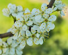 Apfelblüte (lebastian) Tags: panasonic dmcgx8 olympus m60mm f28 macro apfelblüte blüte blossoms natur
