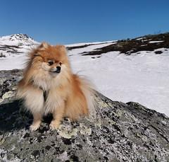 Pomeranian beauty, Norway (KronaPhoto) Tags: 2019 vår huaweip30 sigdal buskerud norway pomeranian dog hund pet petlover animal dyr animalportrait landscape snow snø mountain dof nature