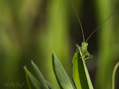Young grasshopper (zserg2000) Tags: macroworld photomacro bags grasshopper grasshopperatsunset