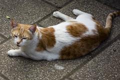 Cat, Buckhurst Hill (London Less Travelled) Tags: uk unitedkingdom britain england london city urban suburban suburbia buckhursthill epping essex cat