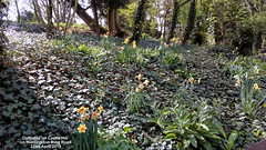 Daffodils on Castle Hill on Huntingdon Ring Road 22nd April 2019 (D@viD_2.011) Tags: daffodils castle hill huntingdon ring road 22nd april 2019