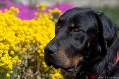 Je te regarde que d'un oeil...! (Elyane11) Tags: hautesavoie france chien beauceron charly jardin fleurs couleurs