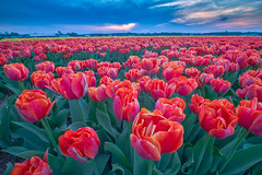 Tulips (Tom Roeleveld) Tags: noordwijk uitjes bloembollenvelden bluehour laowa 75mm f2 olympus omd em1 ii tulip