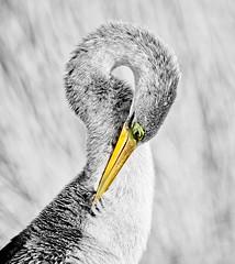 Anhinga (MJRodock) Tags: olympus em1 mzuiko digital ed 40150mm f28 anhinga bird black white bw