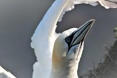 Gannet (nikola swann) Tags: gannet bird bempton cliffs northyorkshire coastline sea