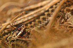 Mr Adder (Derbyshire Harrier) Tags: adder britishnativereptile britishnativesnake viper viperaberus male snake bracken derbyshire peakdistrict peakpark april spring rspb nationaltrust easternmoors cover 2019