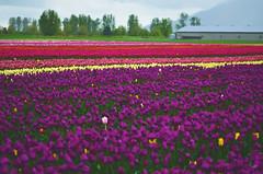 Chilliwack Tulip Festival (nastashastreiling) Tags: chilliwack vancouver britishcolumbia tulips flowers flower tulip spring rain mud model nikon nikond5100 color colourful colorful colour colours