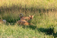 Wake Up Mama - I Want to Play (Jill Clardy) Tags: africa kenya vantagetravel safari 201902269l8a1888 location transmara riftvalleyprovince maasai mara national park lion cub baby shade grass grasses savanna napping asleep