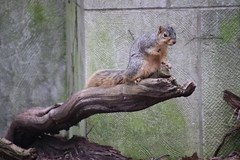 316/365/3968 (April 23, 2019) - Fox Squirrels on a Sunny Spring Day at the University of Michigan - April 23rd, 2019 (cseeman) Tags: gobluesquirrels squirrels foxsquirrels easternfoxsquirrels michiganfoxsquirrels universityofmichiganfoxsquirrels annarbor michigan animal campus universityofmichigan umsquirrels04232019 spring eating peanuts aprilumsquirrel cavitynest nest treecavitynest juvenilesquirrels juveniles 2019project365coreys yearelevenproject365coreys project365 p365cs042019 356project2019