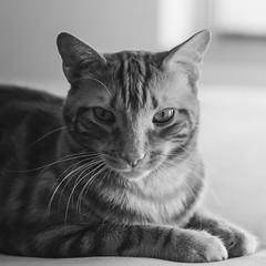 Brian (Papagueno) Tags: animals bw brian cat pet