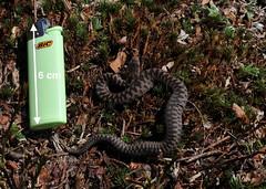 Vipera berus (aspisatra) Tags: viperaberus vipera vipère vipere snake serpent serpente adder marasso peliade pelias ticino
