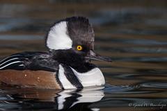 Hooded Merganser (Turk Images) Tags: divingduck hoodedmerganser lophodytescucullatus urbanpond alberta anatidae birds home waterfowl