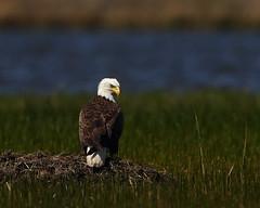 Bald Eagle (ftherit) Tags: bald eagles blackwater nwr canon 1dx ii 600mm