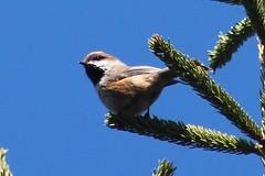 Boreal Chickadee (rwkphotos) Tags: novascotia canada borealchickadee poecilehudsonicus