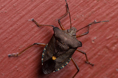 Red on Red, Pt. 2 - _TNY_5554 (Calle Söderberg) Tags: macro canon canonef100mmf28usmmacro canon5dmkii canoneos5dmarkii canon5dmarkii 5d2 insect bärfis rödbentbärfis hemiptera shieldbug redleggedshieldbug halvvinge flash meike mk300 glassdiffusor raynox dcr250 red skinnbagge pentatomoidea pentatomidae pentatomomorpha orangespot brown stinkfly rödbentstinkfly forestbug heteroptera f22
