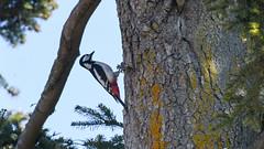 Stor Flagspætte, Great Spotted Woodpecker, Große Bunte Specht (Dendrocopos major)-6181 (Kenneth Gerlach) Tags: bird flowersplants fugle grosebuntespecht haslev love specht spottedwoodpecker spring spætte storflagspætte sørenspætte vogel wildlife woodpecker