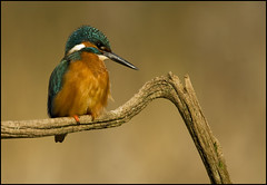Kingfisher (Craig 2112) Tags: kingfisher male alcedoatthis wild lincolnshire bird
