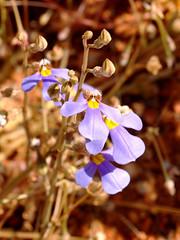 Lobelia heterophylla (jeans_Photos) Tags: lobeliaheterophylla murchison westernaustralia asterales campanulaceae lobelia
