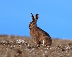 BROWN HARES (LEPUS EUROPAEUS) (Gary K. Mann) Tags: britishwildlife farmland oxfordshire animal mammal lepuseuropaeus brownhare