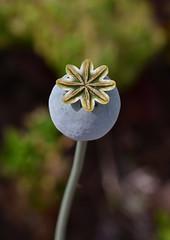 Poppy about to Bloom (dr_marvel) Tags: bloom houston texas tx garden mandellgarden vegetable green poppy