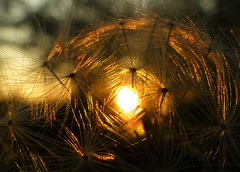 Dandelion Seeds at Dusk..x (Lisa@Lethen) Tags: dandelion dusk sunset sun weather nature macro iridescent seeds garden spring scotland