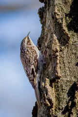 spring climbing (jimmy_racoon) Tags: canon 400mm f56l 7d brown creeper birds nature prime canon400mmf56l canon7d browncreeper
