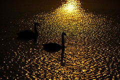 beaten gold (shanahands2) Tags: swans sunrise water ripples sillouete