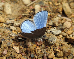 Silvery Blue - Glaucopsyche lygdamus (annette.allor) Tags: butterfly nature gossamer wings insect