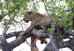 Luipaard met prooi - Leopard with prey - Impala -9976 (Theo Locher) Tags: leopard luipaard léopard pantherapardus zoogdieren krugernationalpark kruger zuidafrika southafrica copyrighttheolocher