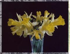 jonquilles (JJ_REY) Tags: jonquilles daffodils bouquet celebration printemps spring indstantfilm colors peelapart fuji fp100c mediumformat toyofield 45a rodenstock aposironarn 150mmf56 colmar alsace france