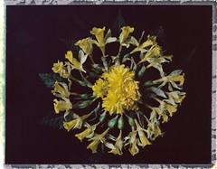 mandala printanier (JJ_REY) Tags: jonquilles daffodils mandala celebration printemps spring indstantfilm colors peelapart fuji fp100c mediumformat toyofield 45a rodenstock aposironarn 150mmf56 colmar alsace france