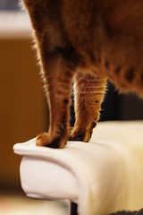 Lizzie (DizzieMizzieLizzie) Tags: posing 2019 gm 85mm f14 t animal dof bokeh golden classic pose a7iii ilce7m3 ilce fe chat gatos neko sony pisica meow kot katze katt gatto gato feline cat portrait dizziemizzielizzie lizzie aby abyssinian ziegler carpet sel85f14gm