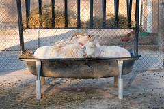 Bed n Breakfast for 2 (Cheryl3001) Tags: goats bathtub feed sleeping fujifilm xt2 50140mm park petting zoo