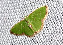 ecosystem/fauna/Geometrid Moth(Argyrocosma inductaria) (biodiversity western ghats(before it is gone)) Tags: taxonomy:binomial=argyrocosmainductaria geometridae geometrinae comibaenini diversityindia indianmoths