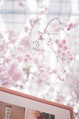 Sakura blossoms at Gardens by the Bay, Singapore (ItsJustinFromTheFuture) Tags: bokeh cherry blossoms sakura singapore olympus pen fujifilm superia 400 half frame flowers bloom gardens by bay