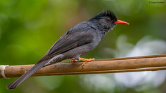 Square-tailed bulbul (Hypsipetes ganeesa) (Sanjay Dandekar) Tags: squaretailedbulbul hypsipetesganeesa bulbul indianwildlife wildlife birdportrait bird thattekad songbird