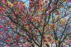 Japanische Blütenkirsche 3/3 (GOFOT) Tags: outdoor sony sonyilce7m2 japanischeblütenkirsche pink rosa baum tree japanesecherry cherry kirsche kirschbaum sonyfe2870mm