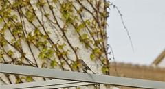 Erithacus rubecula (Bushcraft.Eure) Tags: oiseau oiseaux bird birdy birds ornitho ornithology ornithologie animal animals nature france normandie normandy eure wild wildlife wildlifephoto wildlifephotography sony rougegorge robin erithacus wood tree pelouse valleedeleure green oss sonya6000 sonye epz18105mmf4goss 18105mm pink printemps spring rubecula erithacusrubecula europeanrobin european familier rougegorgefamilier sel18105g ilce6000