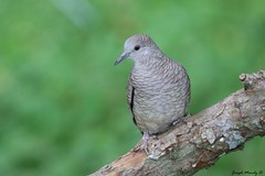 Inca Dove (jmandyjr) Tags: inca dove bird birds wildlife texas