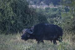 DSC_3049_1 (Marshen) Tags: capebuffalo botswana