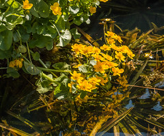 Reflected yellow... (+Pattycake+) Tags: dof spring flowers oldvicaragegardens water leaf outdoor colour leaves plant acer reflection blue bright eos70d photo primelens colourful green nature yellow norfolk ©patriciawilden2019 garden