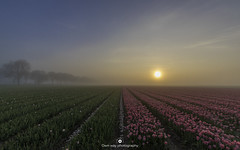 Good morning (www.ownwayphotography.com) Tags: field tulip sunrise landscape tulips spring farm fog holland dutch windmill beautiful flower nature background red white pink bloom panorama panoramic mountain morning beauty netherlands sky colorful floral scene scenic sunlight summer bright blossom color flevoland nederland wideangle wide sigma1020 nikond5500 d5500 sun