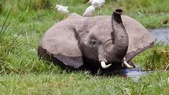 Saluting elephant (Nagarjun) Tags: elephant calf amboselinationalpark kenya africa