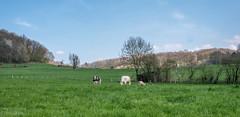 balade à Goé 3 (Aurore Mathieu Photography) Tags: balade goé nature campagne cheval limbourg 4830limbourg