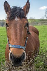 balade à Goé 6 (Aurore Mathieu Photography) Tags: balade goé nature campagne cheval limbourg 4830limbourg