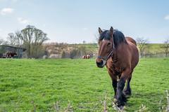 balade à Goé 5 (Aurore Mathieu Photography) Tags: balade goé nature campagne cheval limbourg 4830limbourg