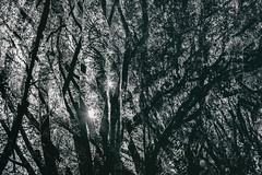 Until the Sun Turns Black (Thomas Hawk) Tags: america bayarea california eastbay oakland sfbayarea usa unitedstates unitedstatesofamerica westcoast bw norcal tree trees