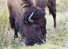 Bison, Grand Teton National Park, Wy (klauslang99) Tags: klauslang bison animal grass grand teton national park