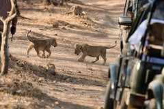 Cubs on the Road (iamfisheye) Tags: 300mm nikon naturetrek d500 xqd pantheraleoleo sassangir vr f4 india asiaticlion gujarat february afs tc14iii 2019 raremammalsandbirdsofgujarat pf